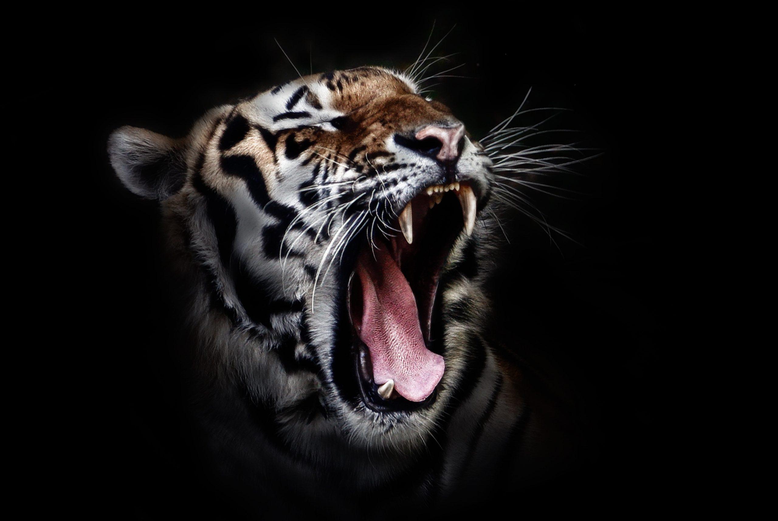 tiger teeths