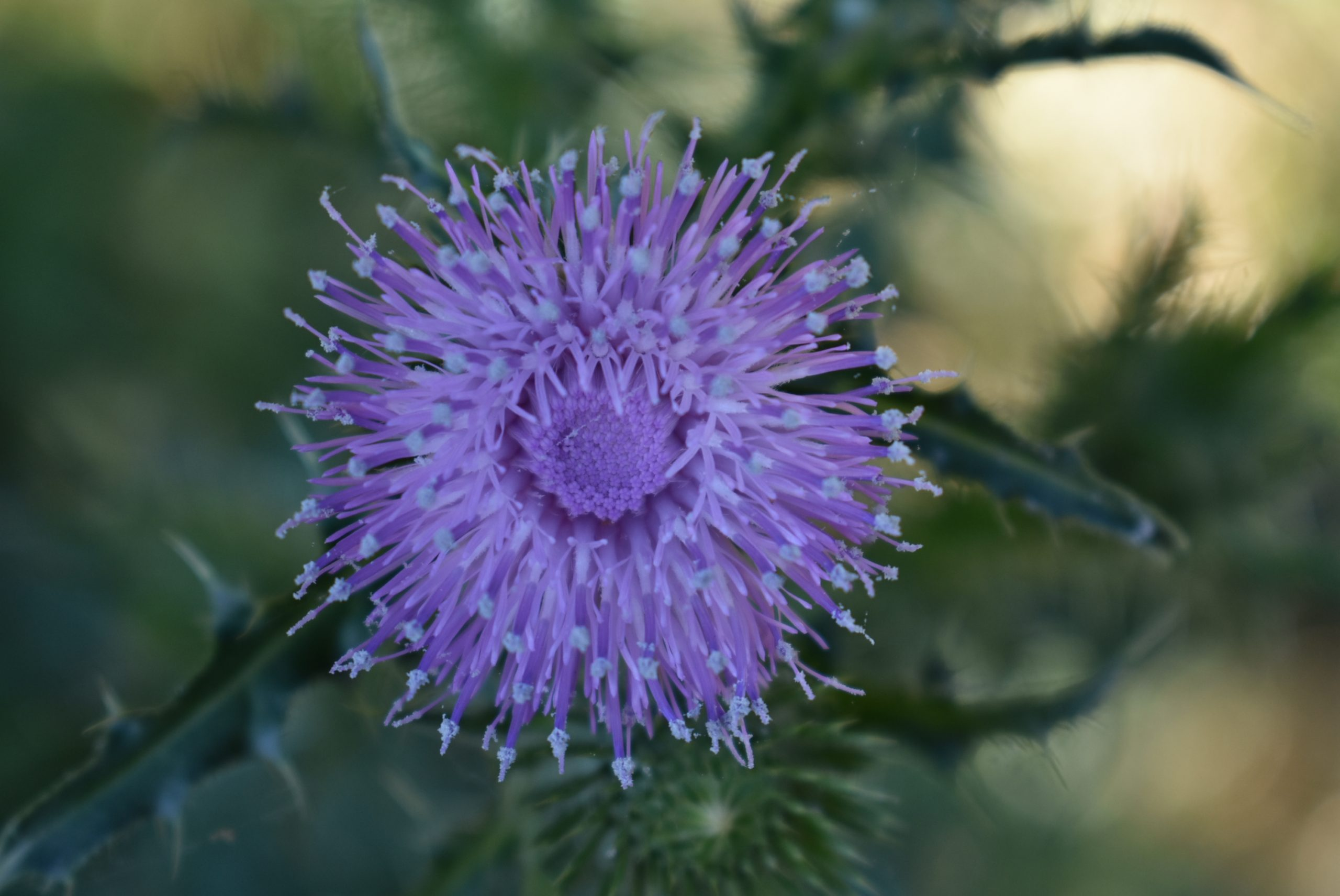 thistle flower close up